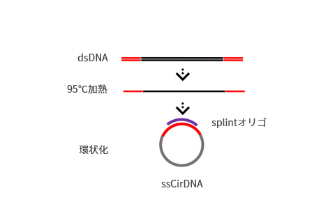 DNA single strand circularization